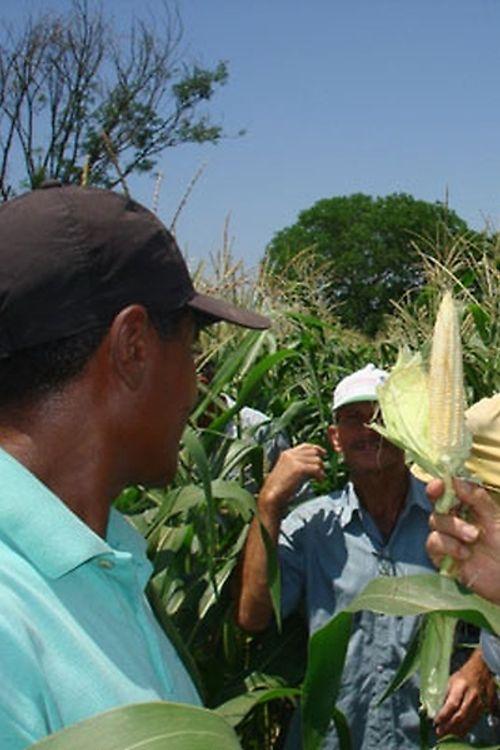 Agropecuária - Plantações - milho - defensivos naturais - biopesticidas - Embrapa