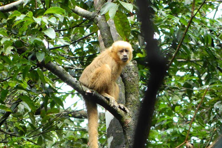 Macaco-prego-galego, espécie em extinção