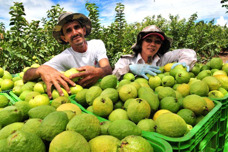 Agropecuária - plantações - goiaba frutas frutíferas colheita agricultor