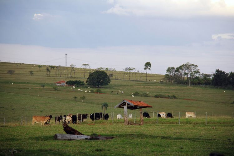 Agropecuária - criação de animais - boi gado corte rebanho febre aftosa rural fazendas