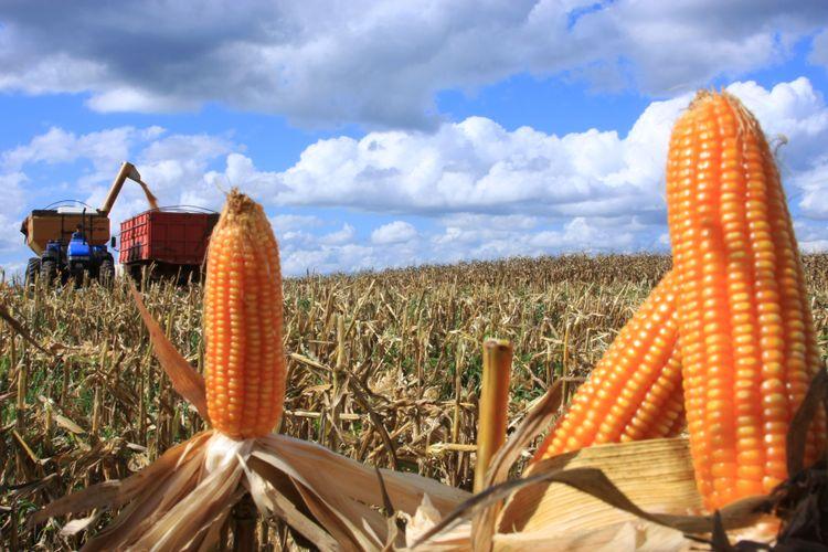 Agropecuária - plantações - colheitas milho máquinas agrícolas agricultor