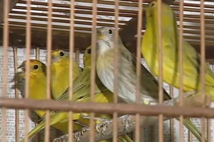 Fauna Silvestre, aves, pássaros, gaiola, cativeiro