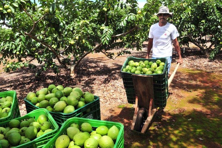 agricultura - pequeno agricultor - fruticultura - frutas - goiaba