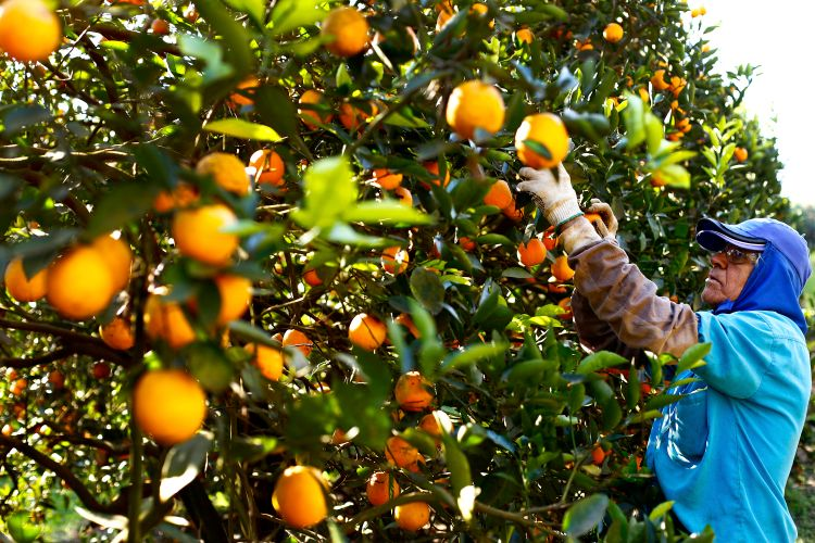 Agropecuária - plantações - laranja laranjal cítricos agricultores catadores